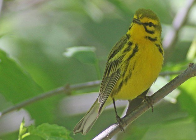 Prairie Warbler at the waterhole