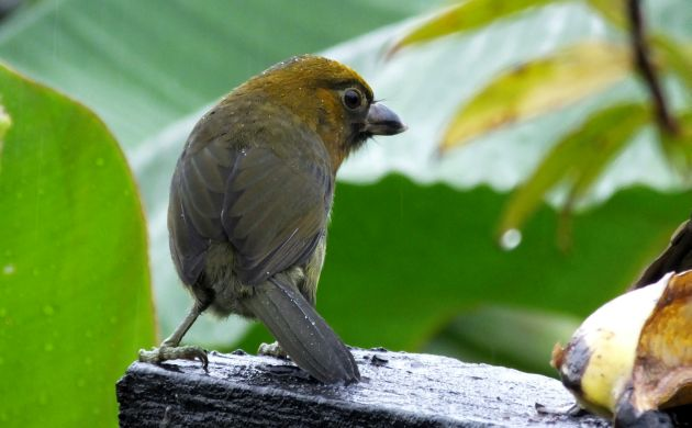 Prong-billed Barbet