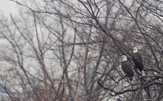 Queens CBC Bald Eagles