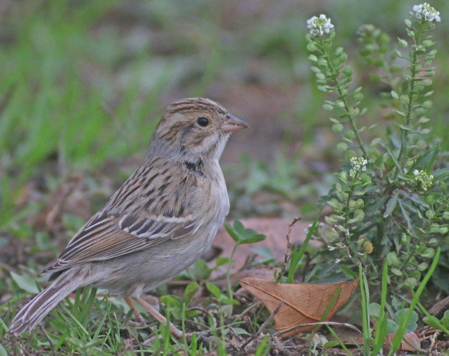 Queens CBC Clay-colored Sparrow