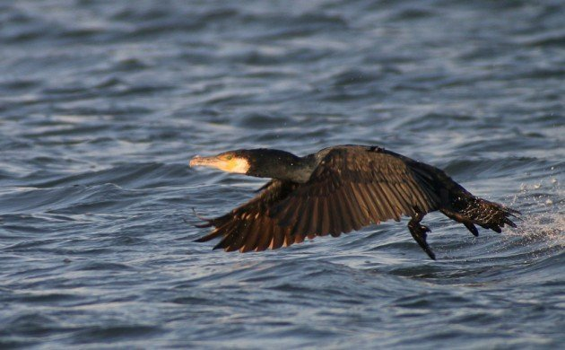 Queens CBC Great Cormorant