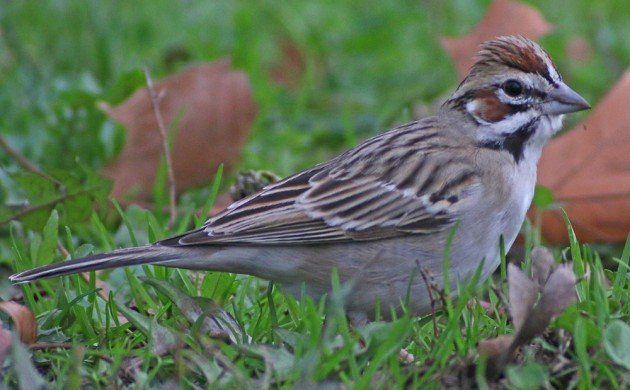 Queens CBC Lark Sparrow 2