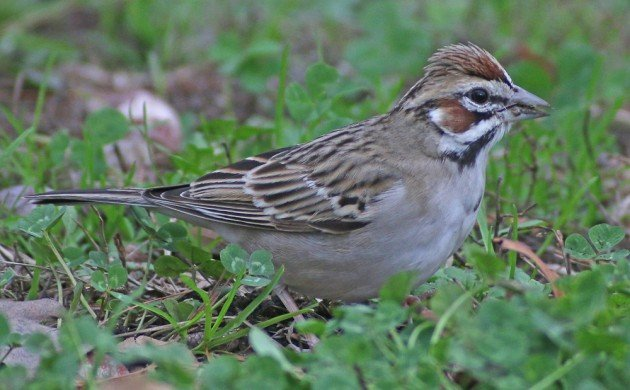 Queens CBC Lark Sparrow