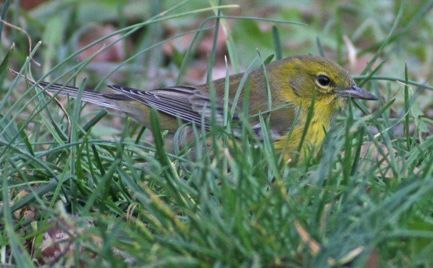 Queens CBC Pine Warbler