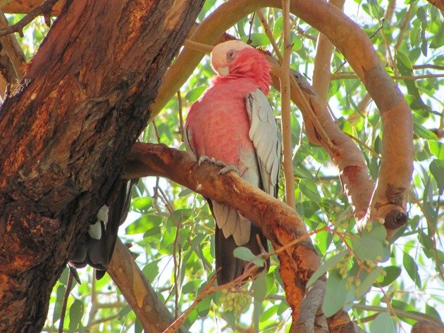 Queensland Galah (2)