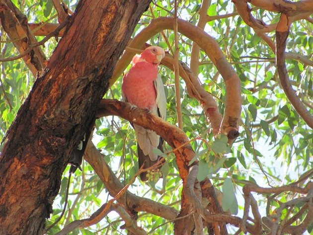 Queensland Galah (3)