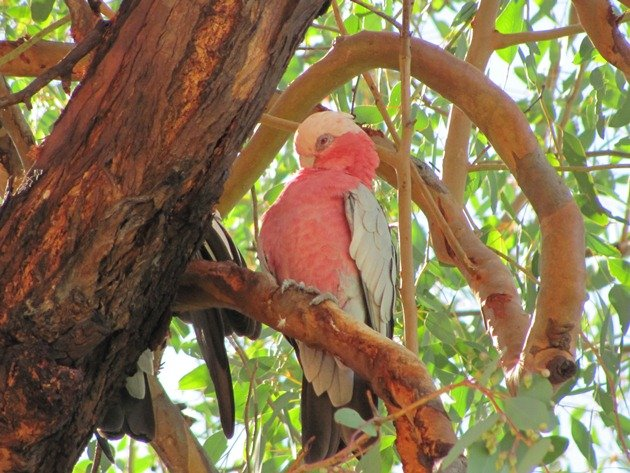 Queensland Galah