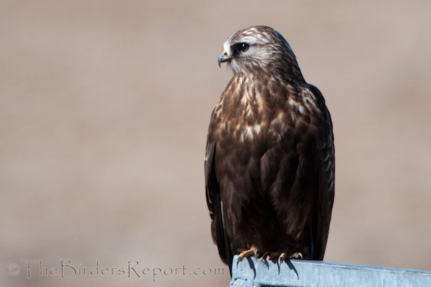 Rough-legged Hawk Dark Morph