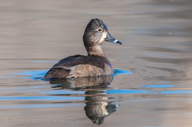 Ring-necked Duck Female