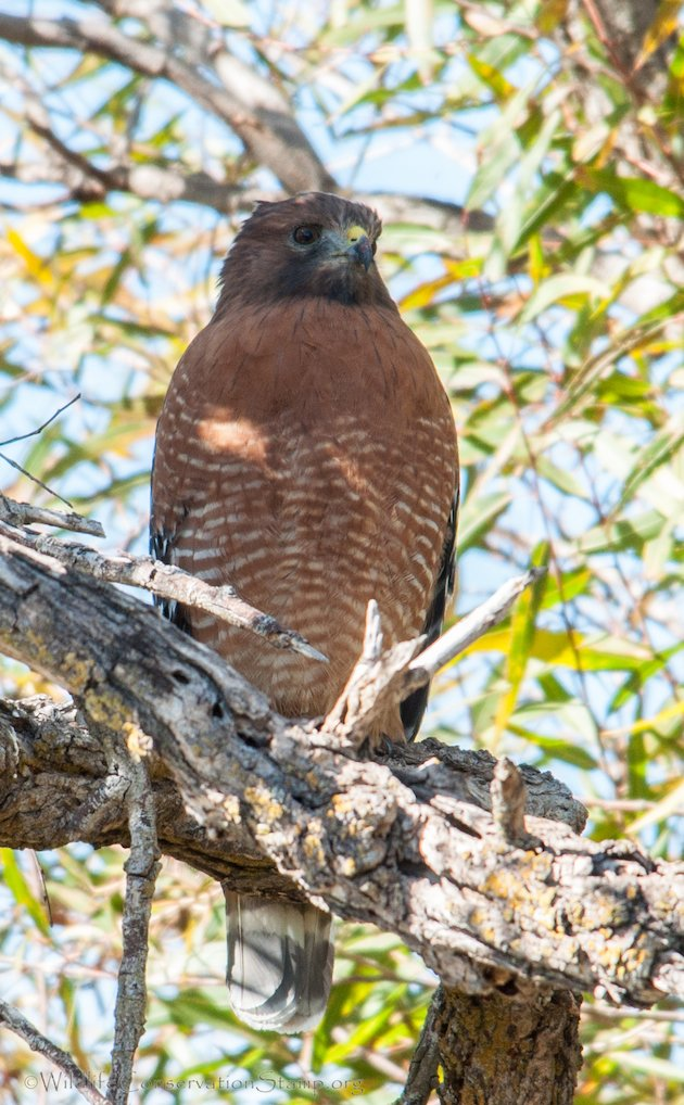 Red-shouldered Hawk Adult