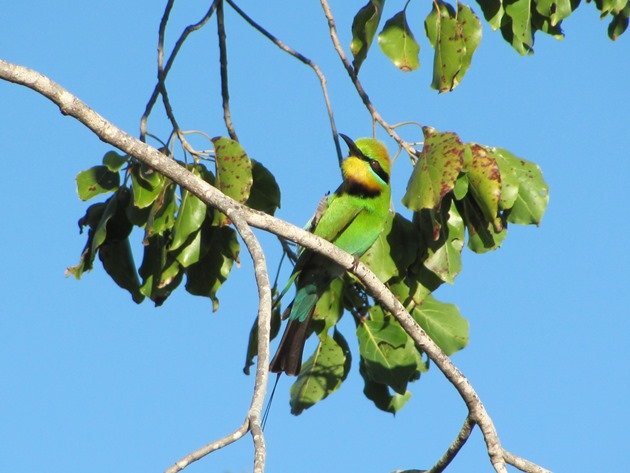 Rainbow Bee-eater (2)