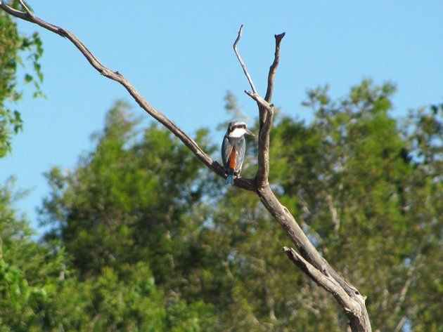 Red-backed Kingfisher (6)