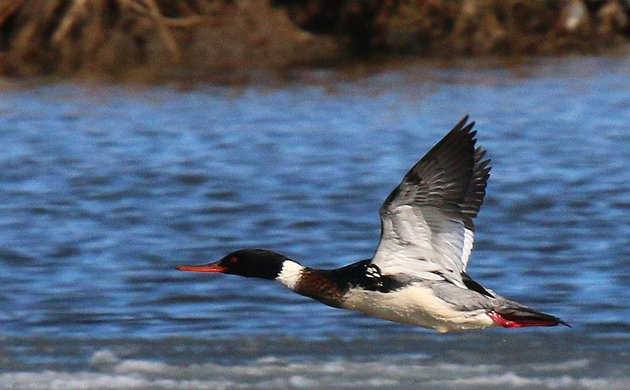 Red-breasted Merganser in flight