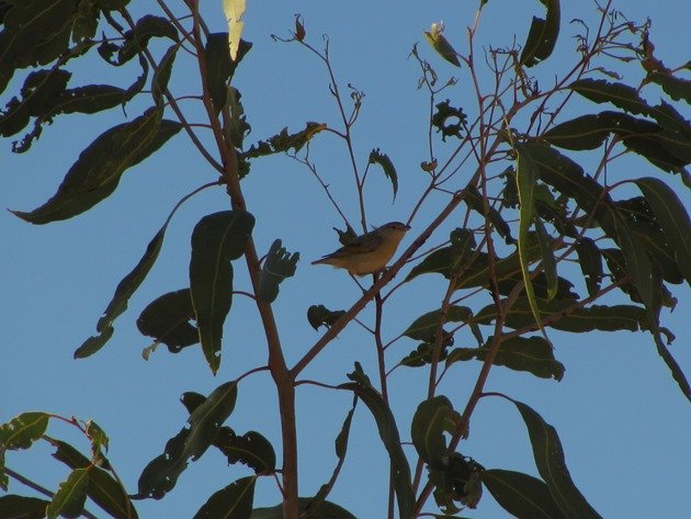Red-browed Pardalote (2)
