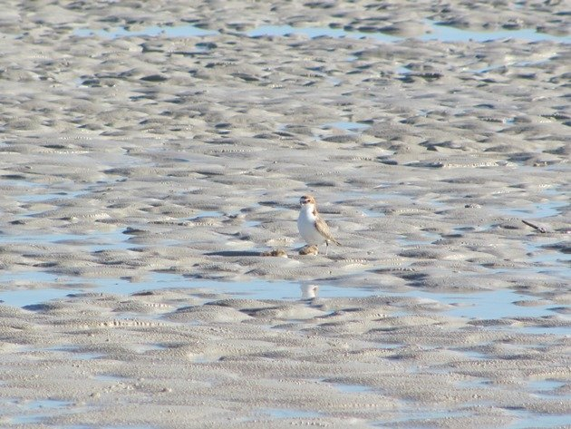 Red-capped Plover & chicks (2)