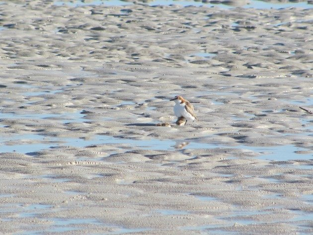 Red-capped Plover & chicks (3)
