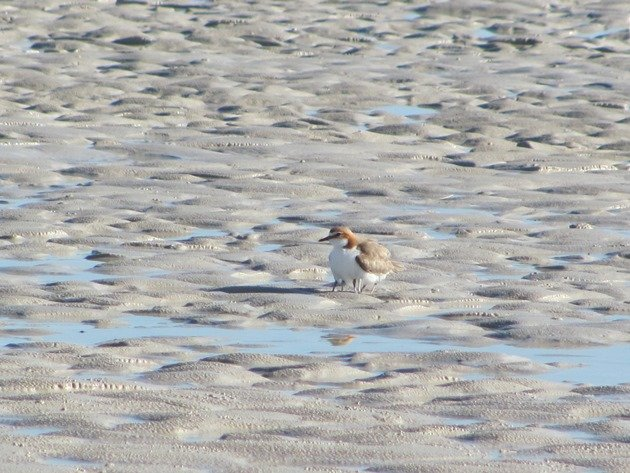 Red-capped Plover & chicks (9)