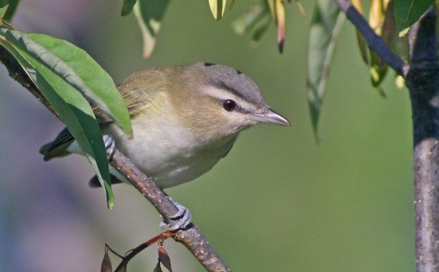 Red-eyed Vireo at the Great Vly