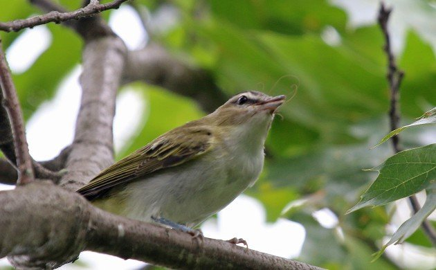 Red-eyed Vireo eating a bug