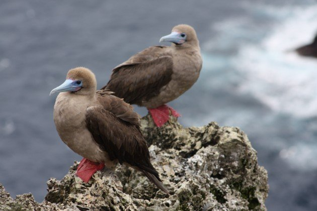 Red-footed Booby brown - Natalia Ocampo