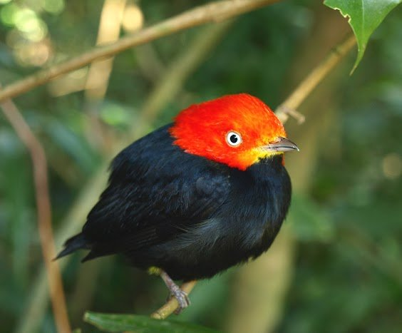 Red-headed Manakin