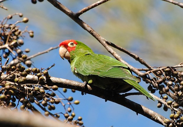 Red-masked Parakeet Apr 5 2015
