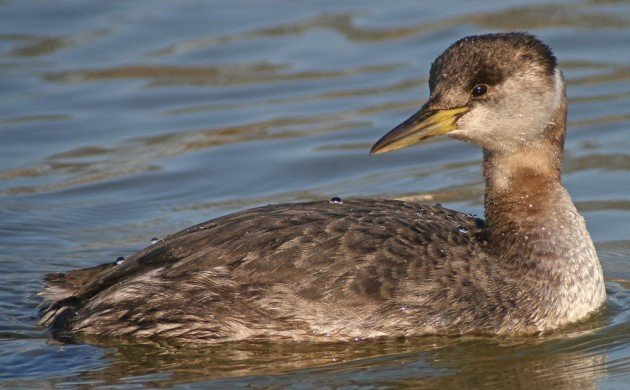 Red-necked Grebe at Baisley Pond Park