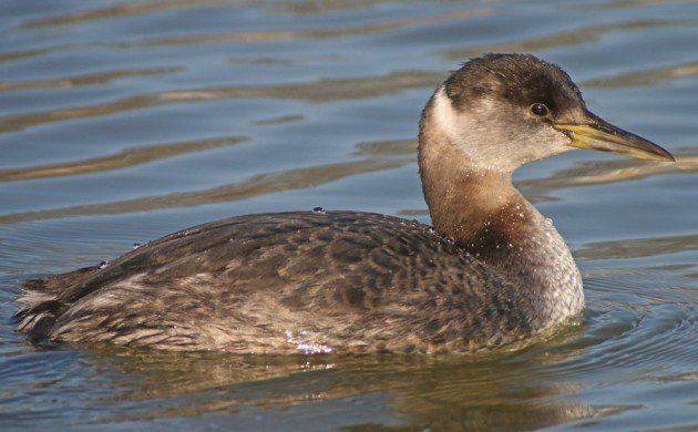 Red-necked Grebe in Queens