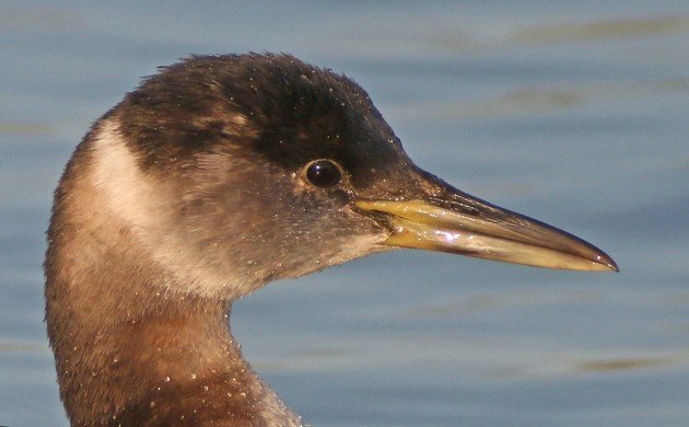 Red-necked Grebe portrait