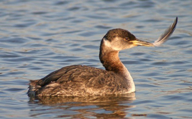 Red-necked Grebe with feather