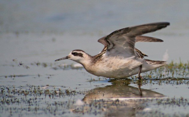 Red-necked Phalarope and prey