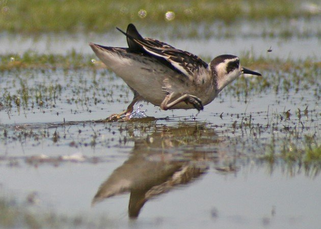 Red-necked Phalarope chasing a bug