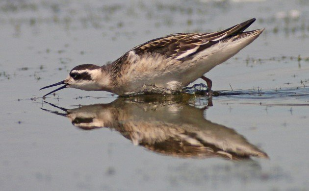 Red-necked Phalarope lunging