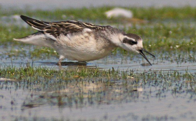 Red-necked Phalarope trying to cast a pellet