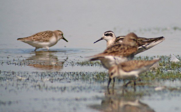 Red-necked Phalarope with other shorebirds