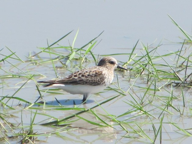 Red-necked Stint (2)