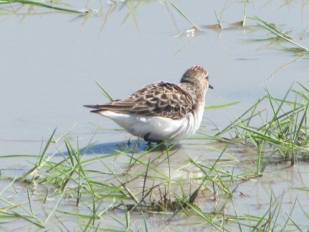 Red-necked Stint (3)