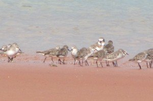 Red-necked Stint 321 & Greater Sand Plover (2)