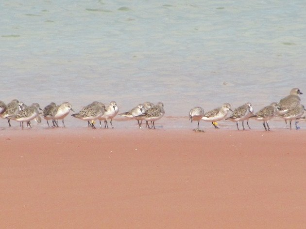 Red-necked Stint 321 & Greater Sand Plover