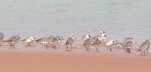 Red-necked Stint 321 & shorebirds (2)