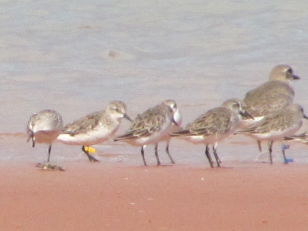 Red-necked Stint 321