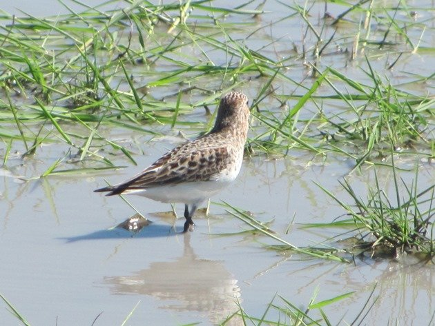 Red-necked Stint (4)