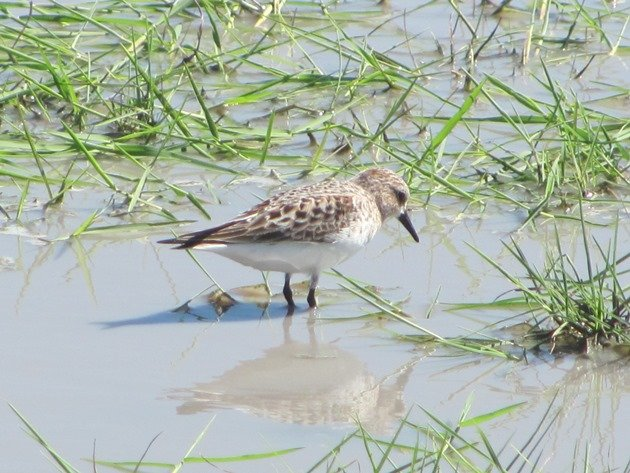 Red-necked Stint (5)