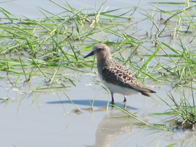 Red-necked Stint (7)
