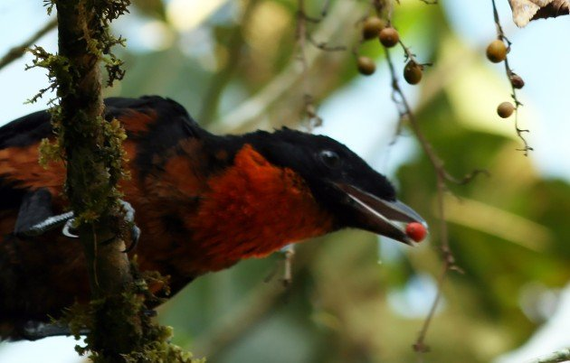 Red-ruffed Fruitcrow eating fruit