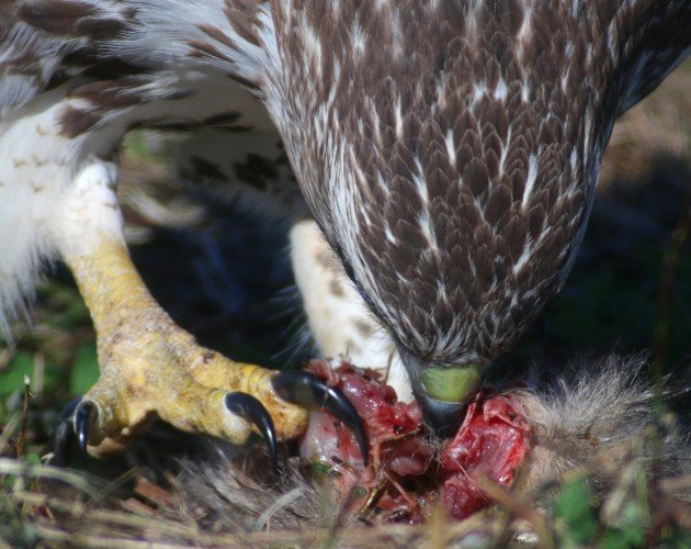 Red-tailed Hawk eating squirrel