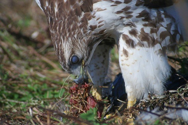 Red-tailed Hawk eating 5