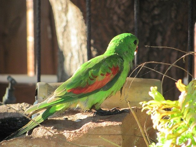 Red-winged Parrot (10)