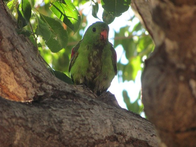 Red-winged Parrot (11)