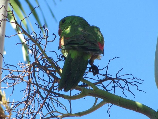 Red-winged Parrot (12)